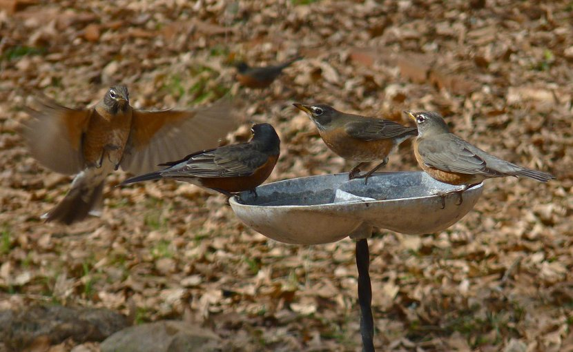 These are American robins at a bird bath. Credit Richard Hall
