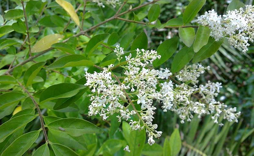 Chinese privet. Photo by Bidgee, Wikimedia Commons.