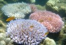 The different color morphs of Acropora millepora, each exhibiting a bleaching response during mass coral bleaching event. Credit ARC Centre of Excellence for Coral Reef Studies/ GergelyTorda