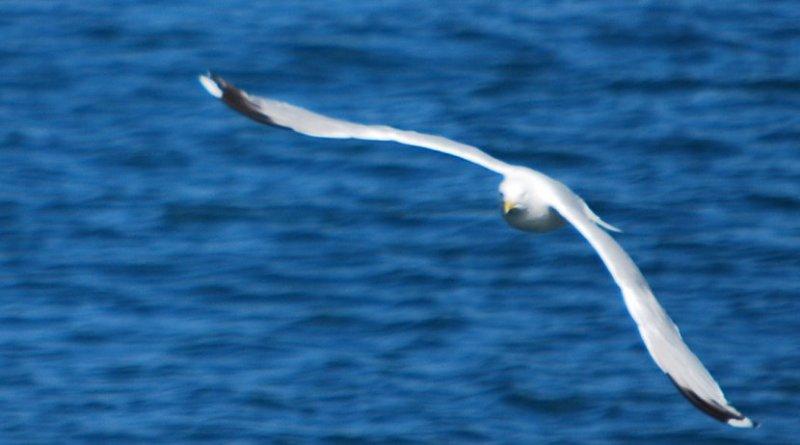 An albatross.