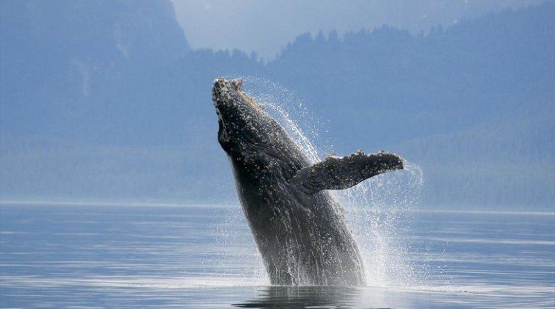 A humpback whale. Credit: Florian Schulz