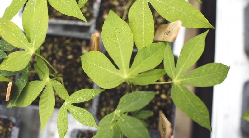 Cassava feeds more than one billion people yet its yields have not increased since 1963; new research from the University of Illinois found that breeding efforts have not improved how well the crop photosynthesizes. Credit Realizing Increased Photosynthetic Efficiency