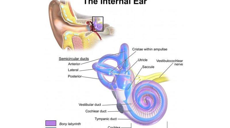 Internal Ear Anatomy. Graphic by BruceBlaus, Wikimedia Commons.