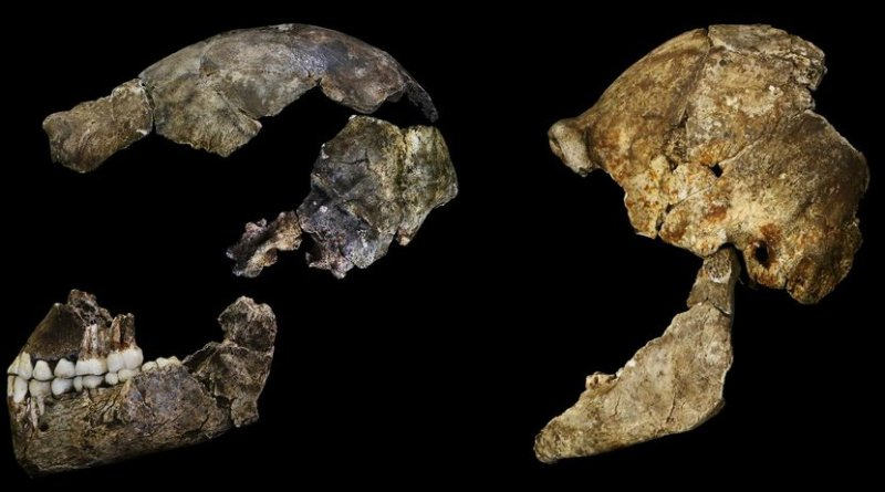 The skulls of Homo naledi bear traces on their inside surfaces of the shape of naledi's brain. Only a third the size of human brains, they nonetheless had some surprisingly humanlike features. Credit Credit: John Hawks