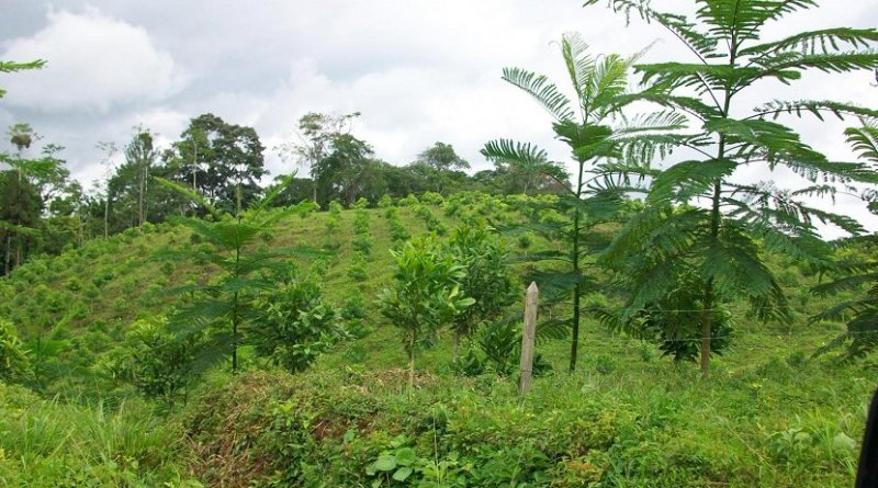 This is a young reforested area in Costa Rica. It is an example of active reforestation techniques, which have been reported as inferior to natural regeneration processes in several high-profile studies. However, a new study critiques previous research, arguing the studies were biased and that active reforestation can also be effective depending on the goals and the site. Credit Matthew Fagan