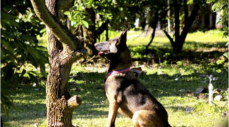 """Cobra, a 3-year-old Belgian Malinois, is trained to detect laurel wilt-diseased trees before the visible symptoms are seen. She and two other Dutch Shepherd canines detect asymptomatic, but infected trees. Once a diseased tree is identified, these """"agri-dogs"""" will sit, indicating a positive alert. Credit DeEtta Mills"""