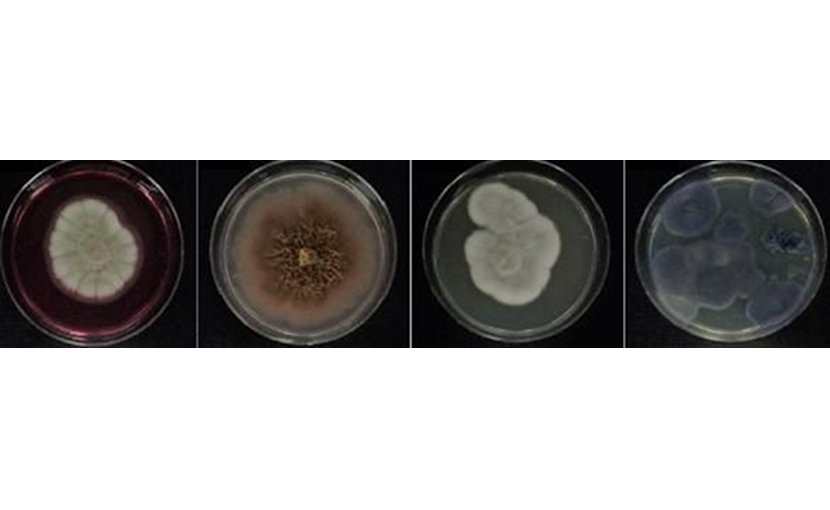 Twenty of the isolated fungi with action against X. citri belonged to the genus Pseudogymnoascus and were extracted from terrestrial and marine samples. Next came Penicillium (five), followed by Cadophora (two), Paraconiothyrium (one) and Toxicocladosporium (one), all extracted from marine sediments. Credit Daiane Cristina Sass (IB-UNESP)