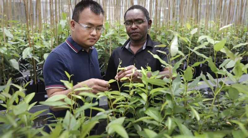 Meng Xie (left) and Wellington Muchero of Oak Ridge National Laboratory led a team that discovered a critical gene in poplar plants that consistently revealed mutations that was not previously known to exist. Credit Genevieve Martin/Oak Ridge National Laboratory, U.S. Dept. of Energy