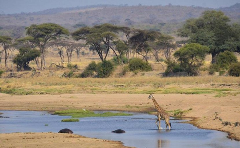 Giraffe roaming the plains in a protected area in Ruaha, Tanzania. Credit The University of Queensland