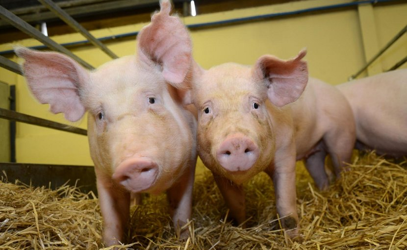 Scientists have produced pigs that can resist one of the world's most costly animal diseases, by changing their genetic code. Tests with the virus - called Porcine Reproductive and Respiratory Syndrome, or PRRS - found the pigs do not become infected at all. The animals show no signs that the change in their DNA has had any other impact on their health or wellbeing. Credit Norrie Russell, The Roslin Institute