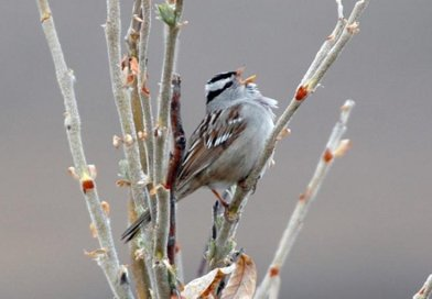Gambel's white-crowned sparrows, like this one, prefer woody shrubs. As the Arctic continues to warm, shrubs on Alaska's North Slope are expected to overtake open grasslands. That could create conditions for sparrows to outcompete longspurs and other migratory birds. Credit John Wingfield