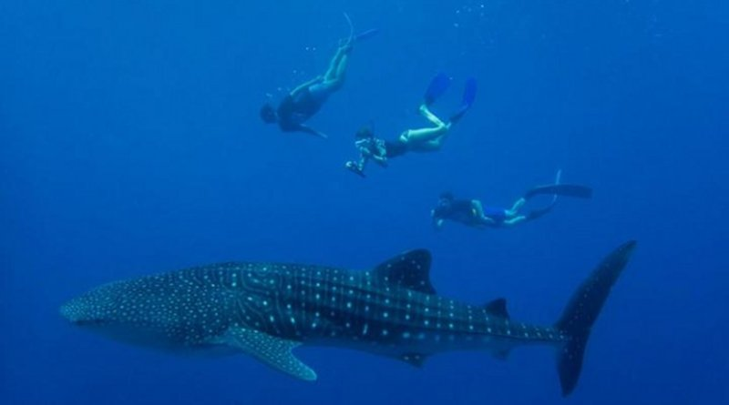 Gentle giants: Filter-feeding whale sharks do have around 3,000 tiny teeth, but are harmless to humans. Credit MWSRP