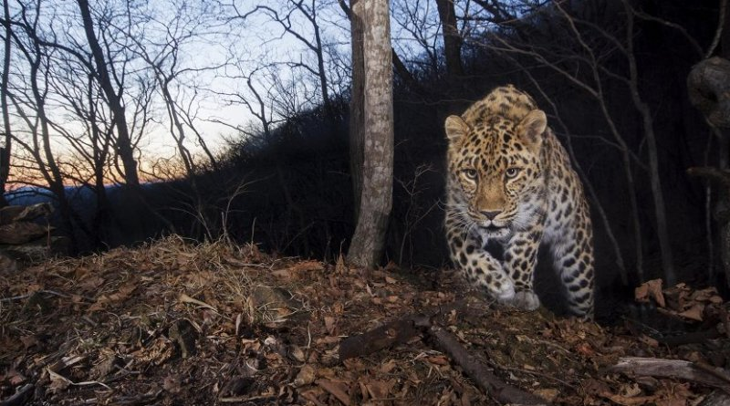 Scientists estimate there are only 84 remaining highly endangered Amur leopards (Panthera pardus orientalis) remaining in the wild across its current range along the southernmost border of Primorskii Province in Russia and Jilin Province of China. Credit Emmanual Rondeau