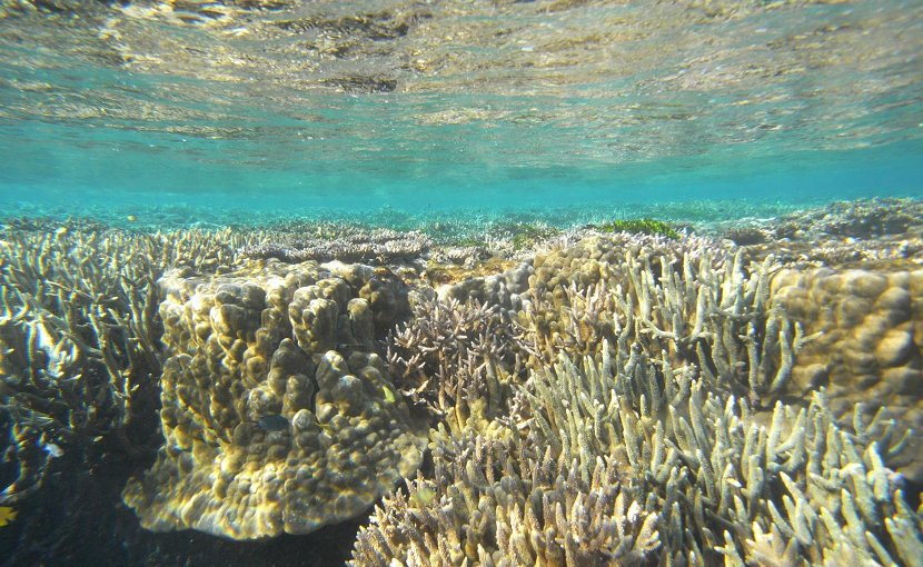 Coral reefs grow in shallow waters where they remain covered by the sea but still receive sunlight. The remains of ancient reefs were examined to determine sea levels from long ago by a research team led by University of Tokyo Professor Yusuke Yokoyama. Credit Image by Hironobu Kan