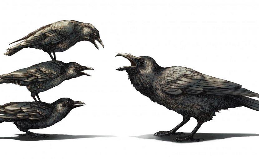 A group of crows antagonize a raven. Credit Phillip Krzeminski