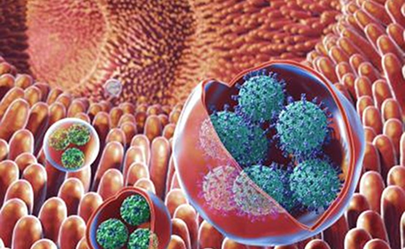 This is an illustration of membrane-bound vesicles containing clusters of viruses, including rotavirus and norovirus, within the gut. Rotaviruses are shown in the large vesicles, while noroviruses are shown in the smaller vesicles. Credit NIH