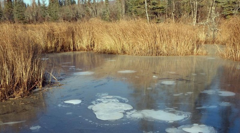 Methane bubbles are trapped in the ice on a pond near Fairbanks, Alaska. Credit Katey Walter Anthony