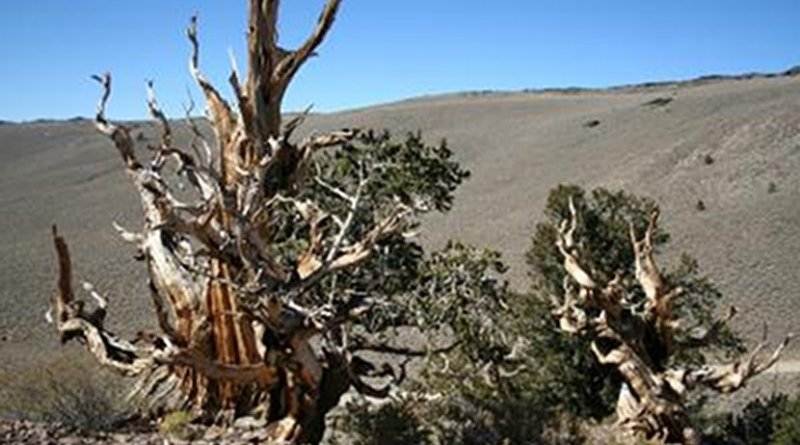Researchers used two different tree-ring chronologies from long-lived trees that were alive at the time of the Thera eruption, including bristlecone pines. Credit: © Charlotte Pearson