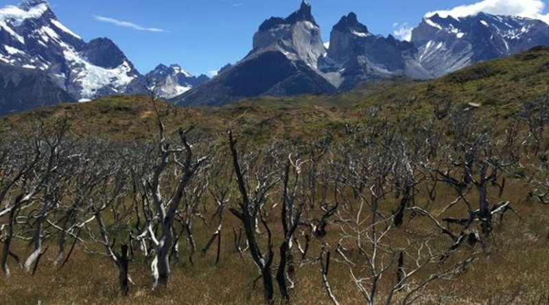 This photo shows a forest of Nothofagus antarctica trees that burned in fire that covered 40,000 acres in Torres del Paine National Park, Chile in 2012. Credit Photo by D. McWethy