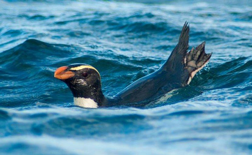 Tawaki at sea. Credit Thomas Mattern