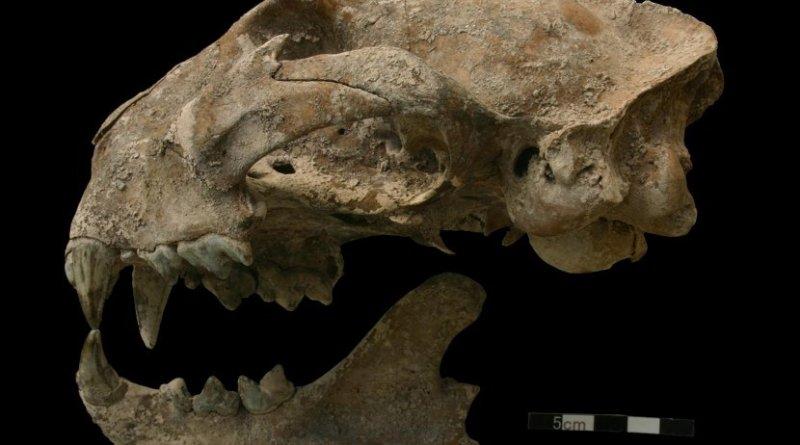 Puma skull from the Motmot burial. Credit N. Sugiyama