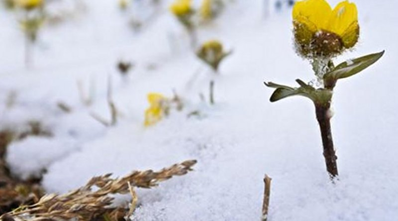 The long-lasting snow cover is vanishing in northern mountains -- will snow buttercup (Ranunculus nivalis) and other Arctic and mountain plants follow? Credit Julia Kemppinen