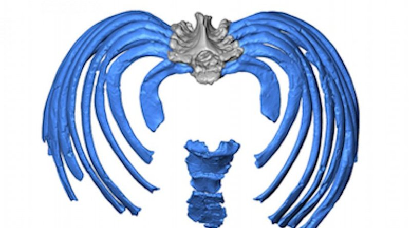 This image from the virtual reconstruction shows how the ribs attach to the spine in an inward direction, forcing an even more upright posture than in modern humans. Credit Gomez-Olivencia, et al