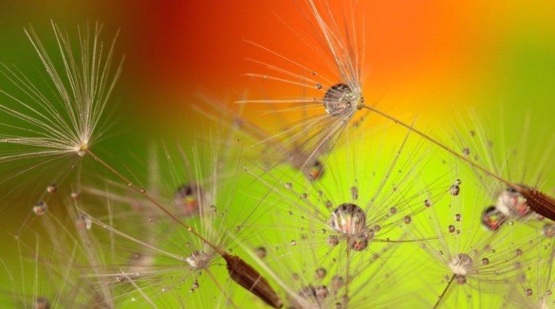 seed plant dandelion