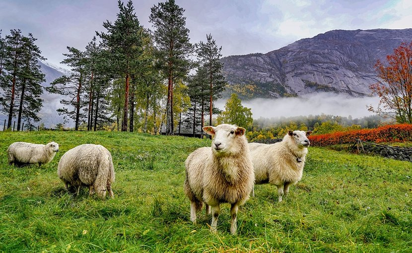Sheep grazing in the mountains of Norway.