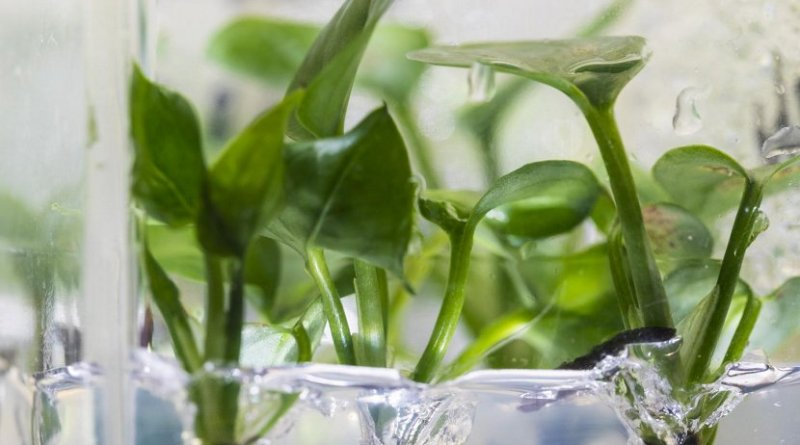 Researchers at the University of Washington have genetically modified a common houseplant -- pothos ivy -- to remove chloroform and benzene from the air around it. Credit Mark Stone/University of Washington