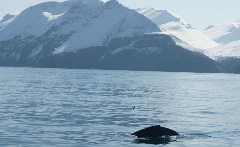 Humpback whale Credit The University of Iceland's Research Center in Húsavík, 2019
