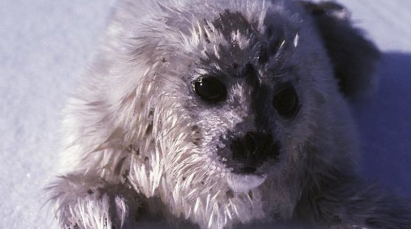 A ringed seal pup, still covered in its white baby fur, lies exposed on the sea ice. Credit Ian Stirling