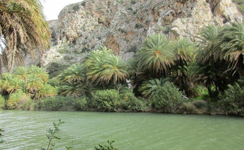 Cretan date palms (Phoenix theophrasti) at Preveli Gorge, Crete. Credit Jonathan Flowers