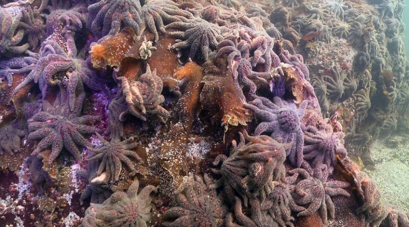 Thousands of sunflower sea stars swarm Croker Rock near Croker Island in the Indian Arm fjord, north of Vancouver, British Columbia, on Oct. 9, 2013. Three weeks later, the sea stars vanished. Credit Neil McDaniel.