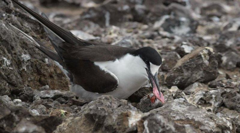 Image of adult sooty tern feeding a chick. Credit Dawn Osborn