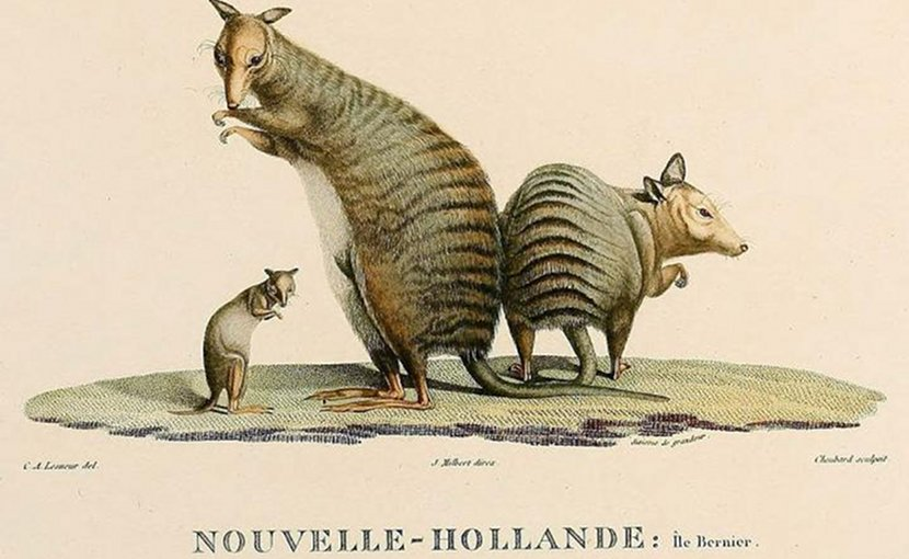 This is a drawing of Banded-hare wallabies from John Gould Mammals of Australia, 1845-63. Credit Public Domain