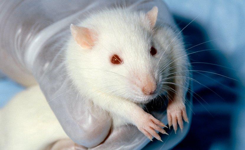 A Wistar laboratory rat. Credit: Janet Stephens (photographer) - http://visualsonline.cancer.gov