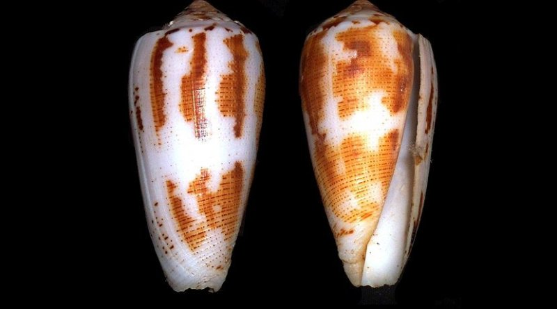 Shells of Conus magus. Photo Credit: Richard Parker, Wikipedia Commons