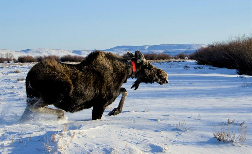A GPS-collared moose in western Wyoming moves into its desired habitat. New University of Wyoming research has documented interactions between moose and wolves in the region. Credit Mark Gocke