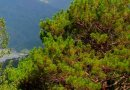 Benguet pine tree in Philippines. Photo Credit: anne_jimenez, Wikipedia Commons.