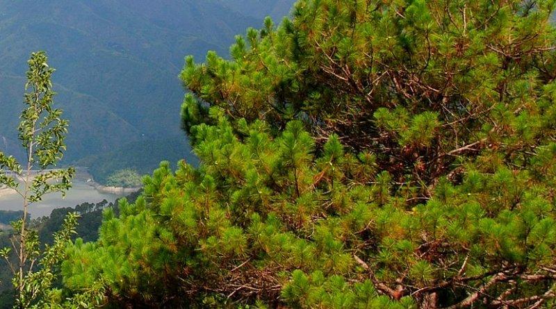 Benguet pine tree in Philippines. Photo Credit: anne_jimenez, Wikipedia Commons.