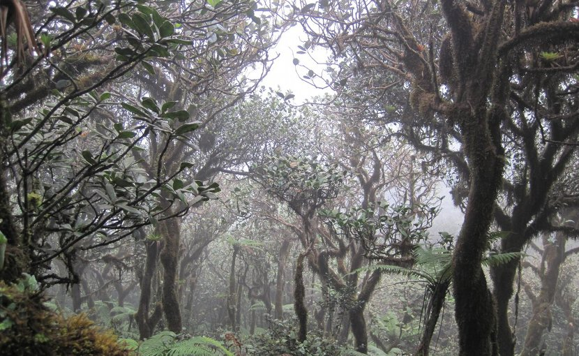 Elfin cloud forest in the El Yunque National Forest of Puerto Rico. Credit Photo by María Rivera