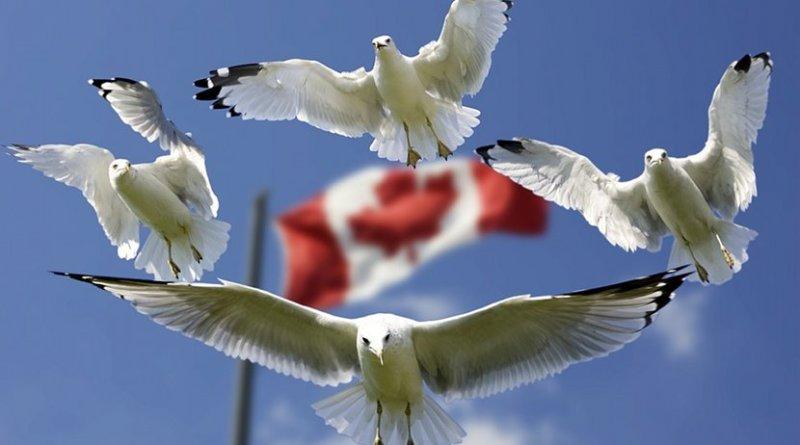 canada flag seagulls birds