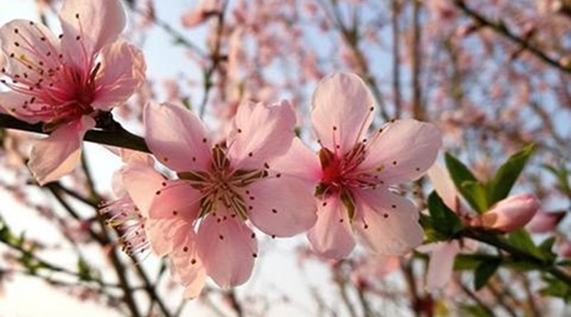 Peach flowers (Prunus persica (L.) Batsch) from a tree studied in the paper referred to as DHQ1. Credit Laurence D. Hurst