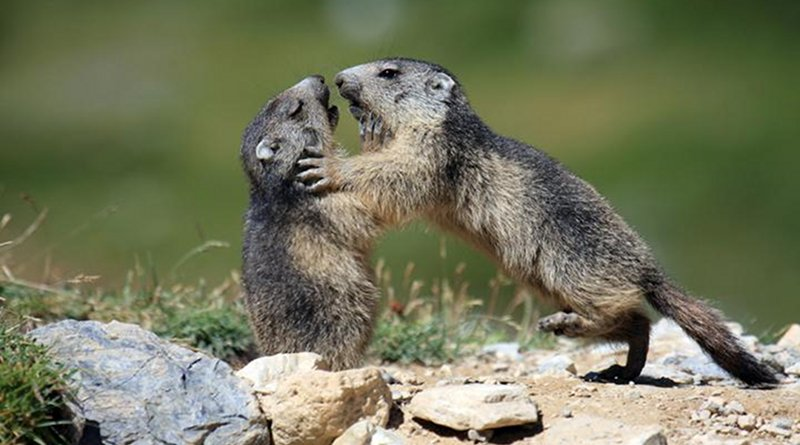 Playing marmots. Credit Carole and Denis Favre-Bonvin