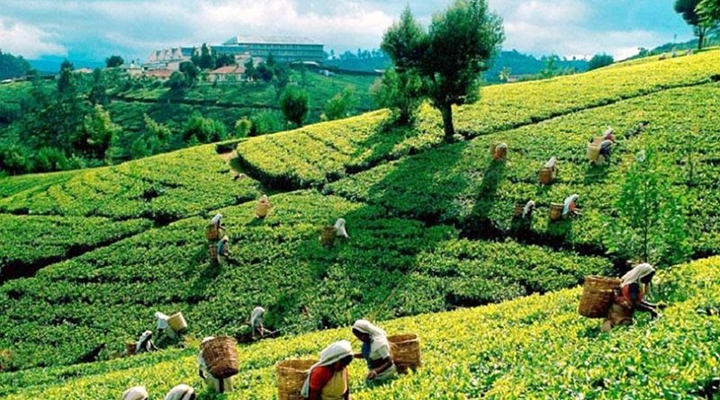 Tea plantation in Sri Lanka. Photo Credit: Sri Lanka government