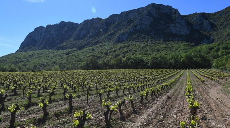 A vineyard by Pic Saint Loup Mountain in southern France. Credit S. Ivorra CNRS/ISEM