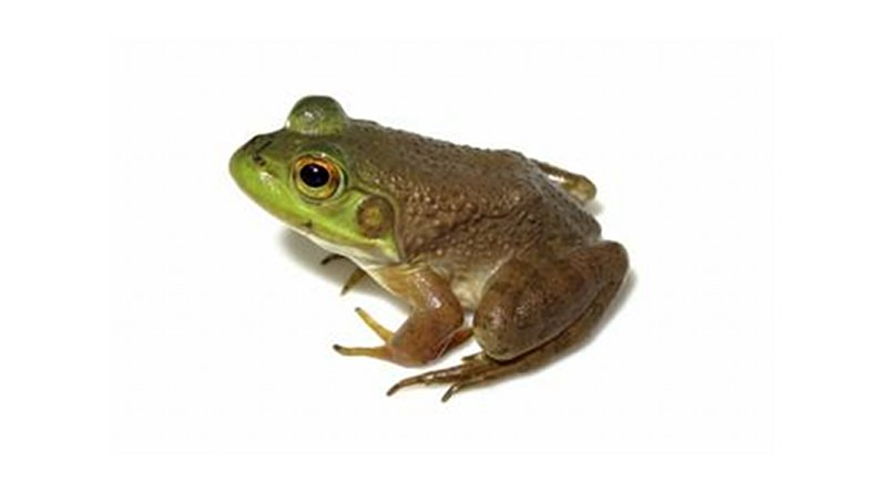 Ranavirus is linked to amphibian decline or extinction in other parts of the world, but in Brazil, it has been reported only in captive animals. Credit Felipe Toledo