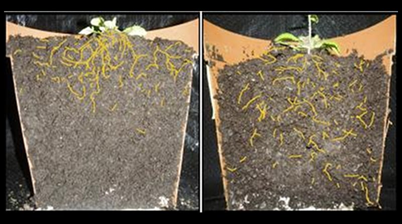 Left: Normal Arabidopsis thaliana plant with shallow root system architecture. Right: Arabidopsis thaliana variant showing deeper root system architecture. (Roots are colored yellow in the image for better visibility.) Credit Salk Institute