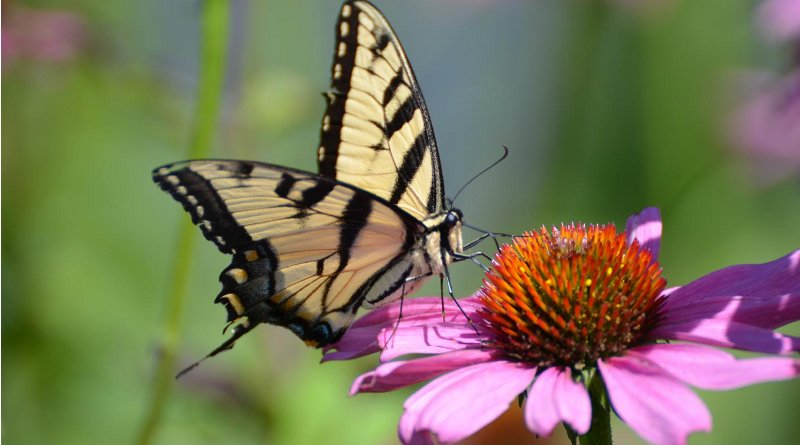 Swallowtail butterfly on flower. Credit: Rob Liptak, Ohio Lepidopterists